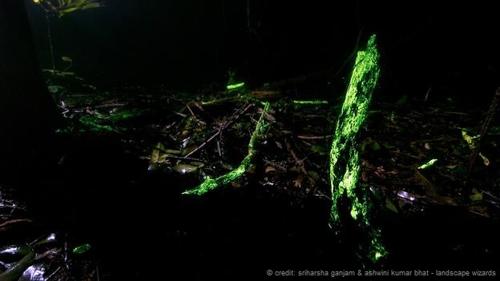 Hiện tượng ngoạn mục này chỉ có thể thấy ở một số khu vực trong cả cánh rừng